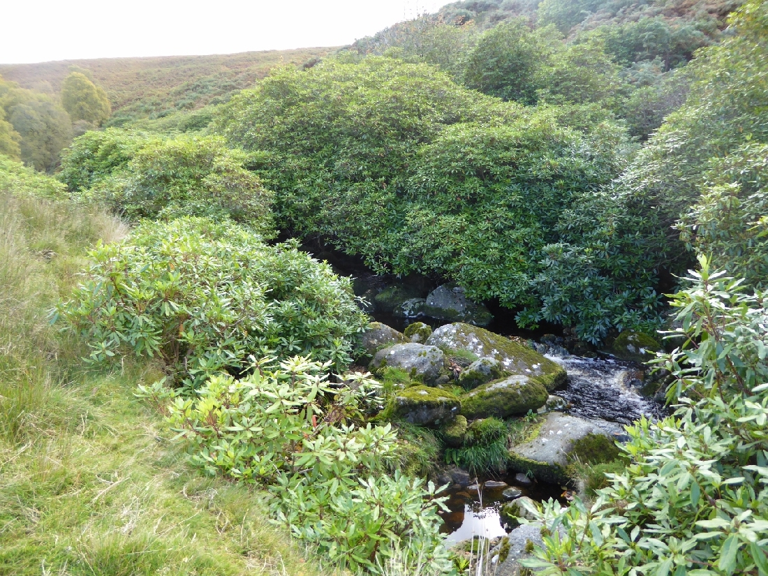 Rhododendron - Shading out stream