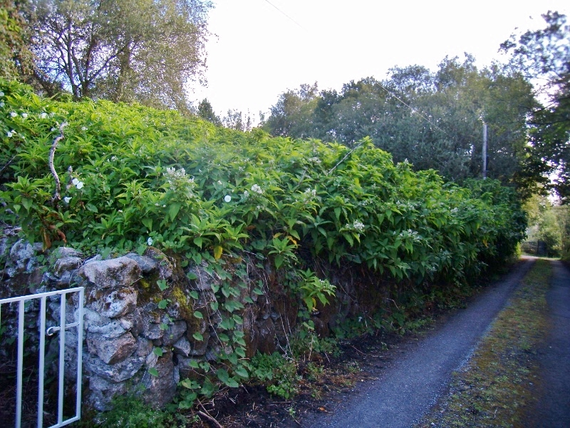 Media Library - Himalayan Knotweed - Moycullen 1