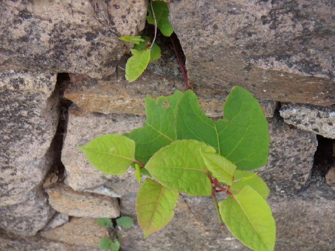 J.K. - Growing through stone wall