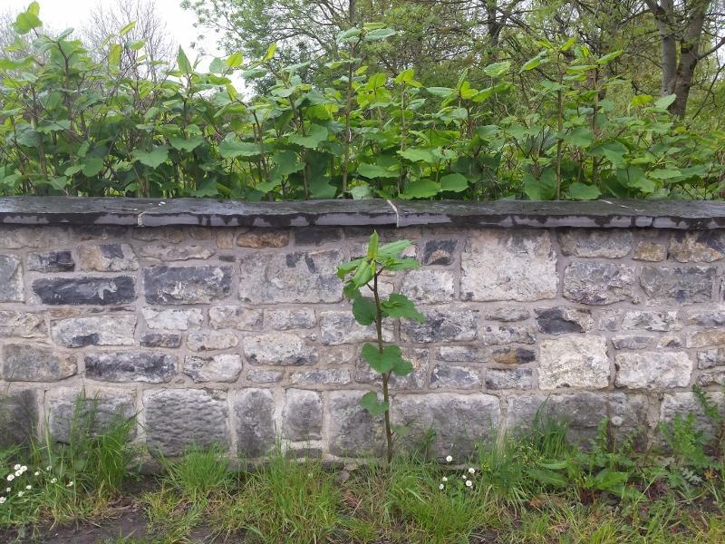 J.K. - Growing under  boundary wall