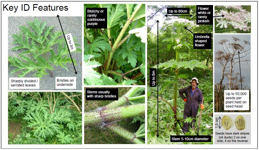 Media Library - Giant Hogweed - Identification