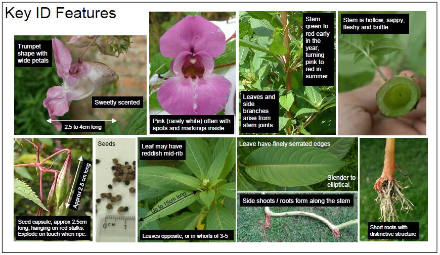 Media Library - Himalayan Balsam - Identification