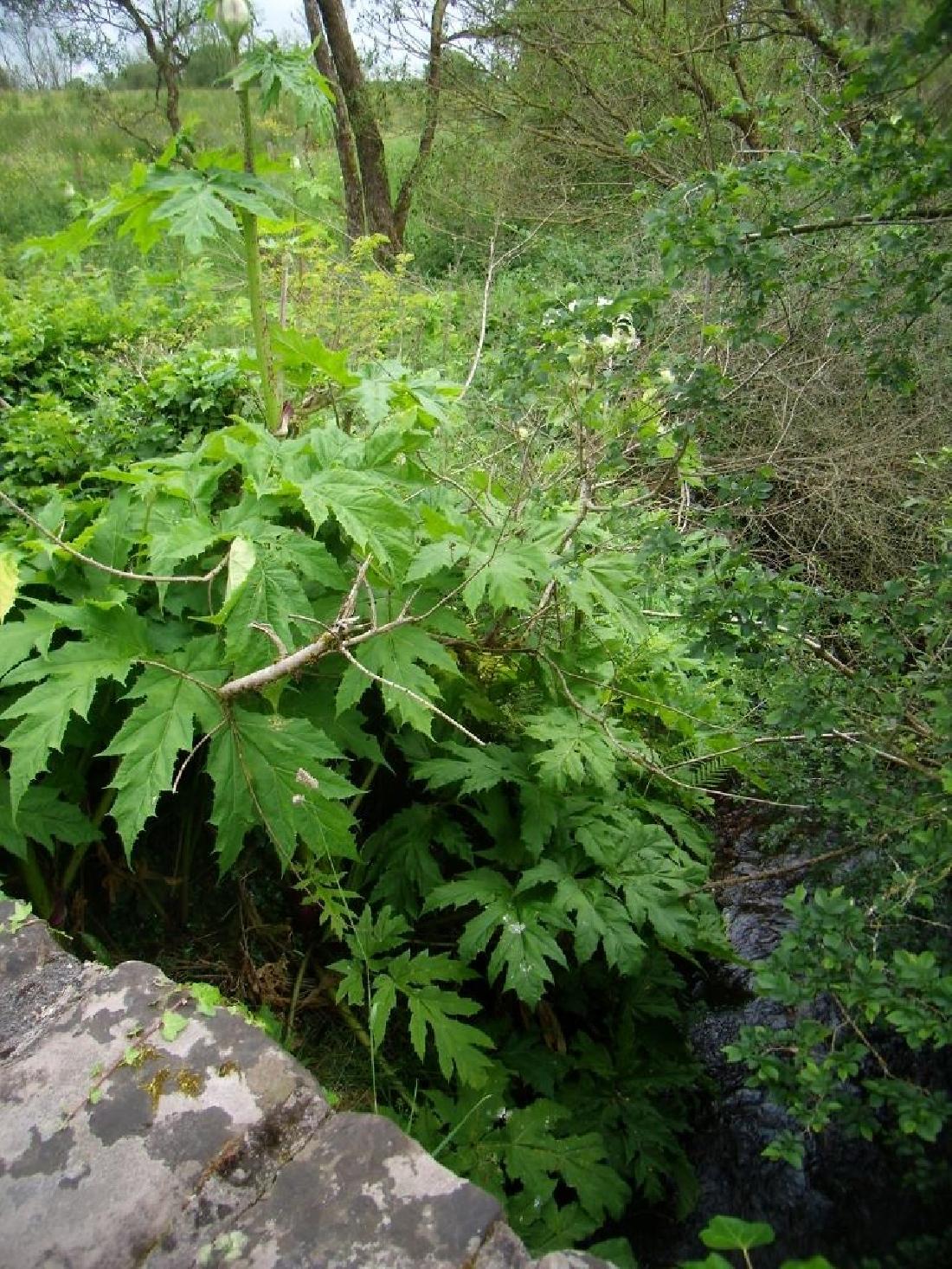G.H. - Infestation on rural stream