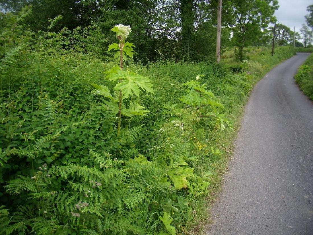 G.H. - Flowering plant along roadside