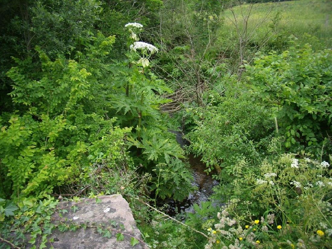 G.H. - Plant in flower along stream