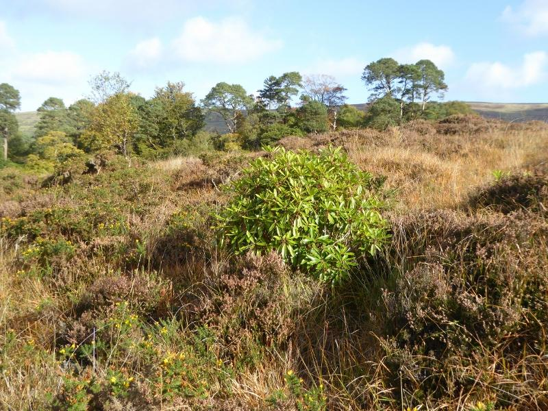 Rhododendron - Young plant on uplands