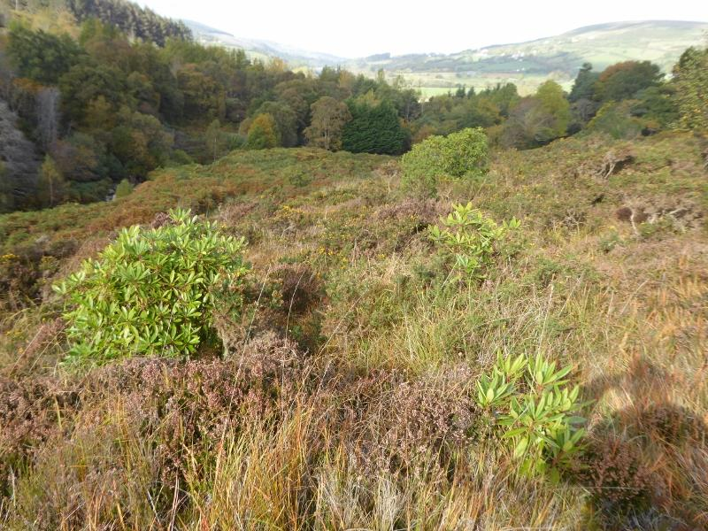 Rhododendron - Young plants on uplands