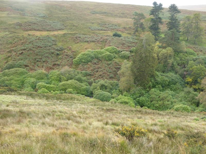 Rhododendron spreading on uplands