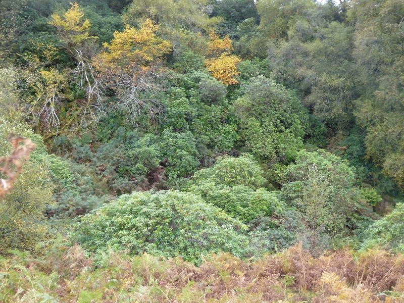 Rhododendron spreading on mountainside