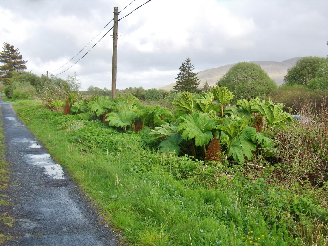 Gunnera - Typical Infestation
