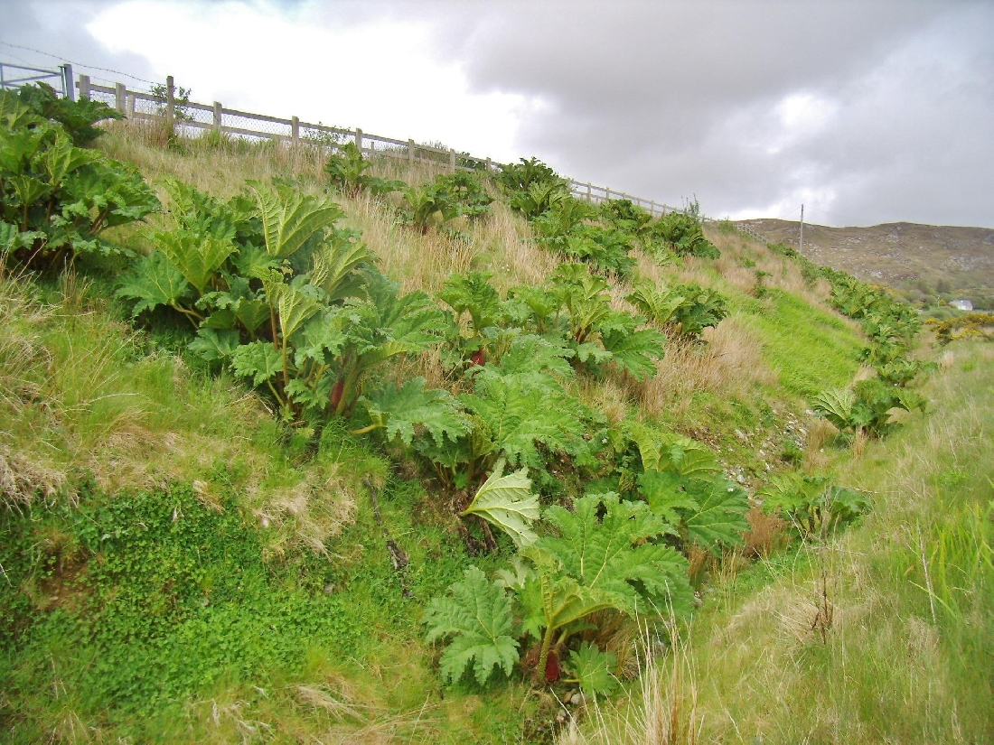 Gunnera - Roadside Embankment