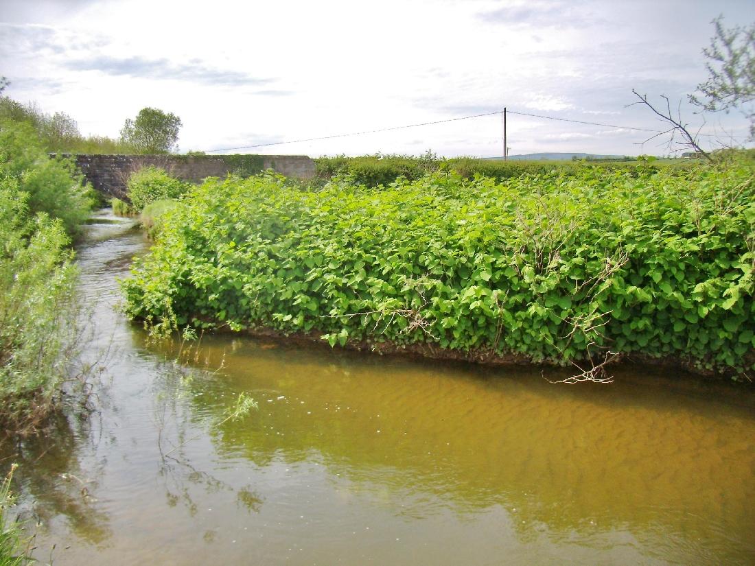 J.K. - Large riverbank infestation