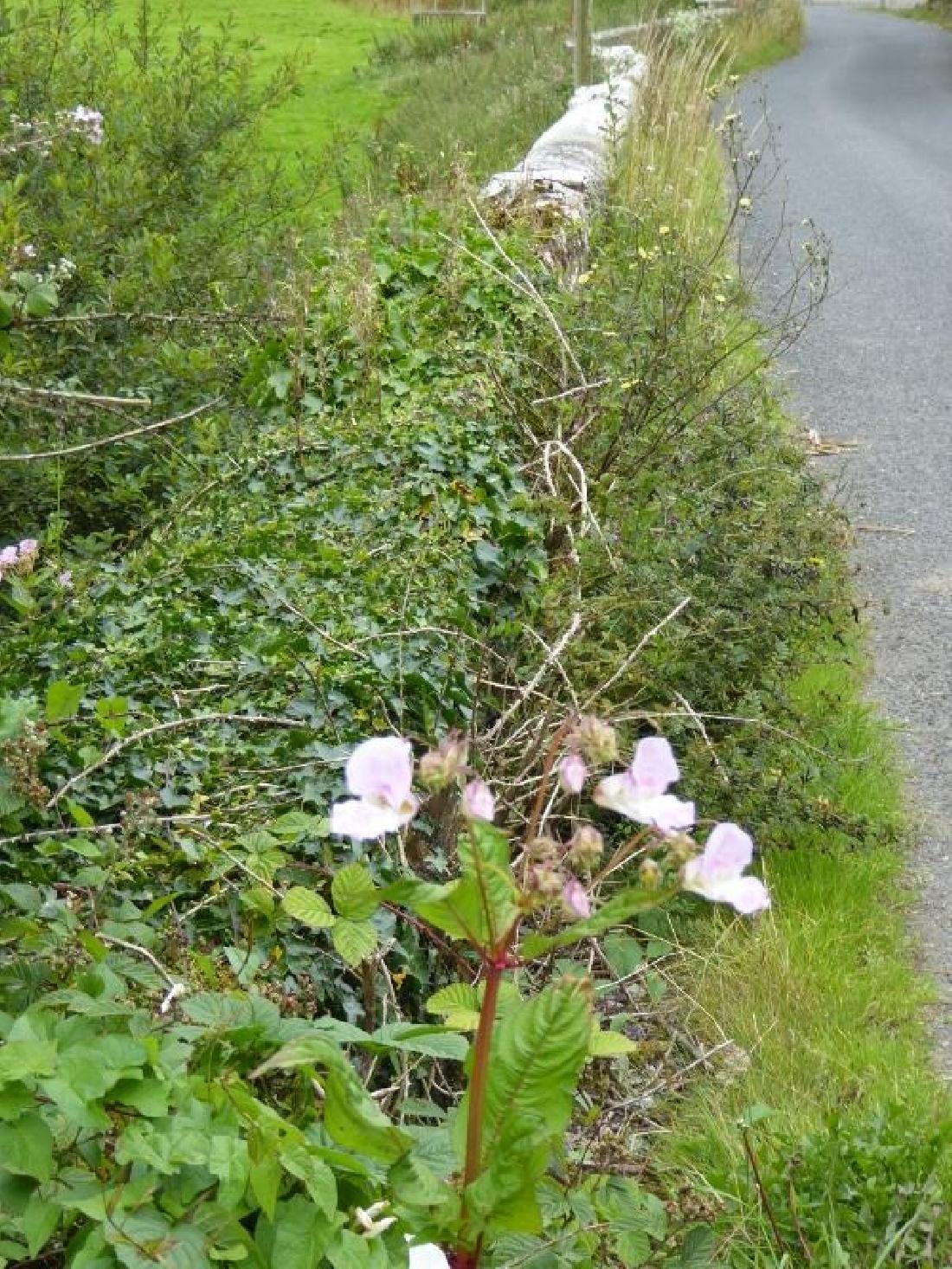 H.B. - Roadside Plant
