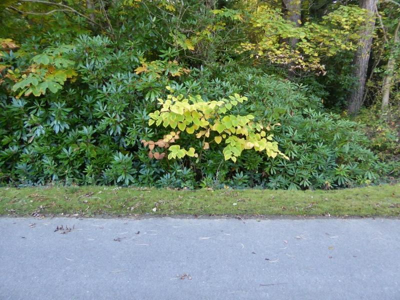 Rhododendron - On woodland fringe