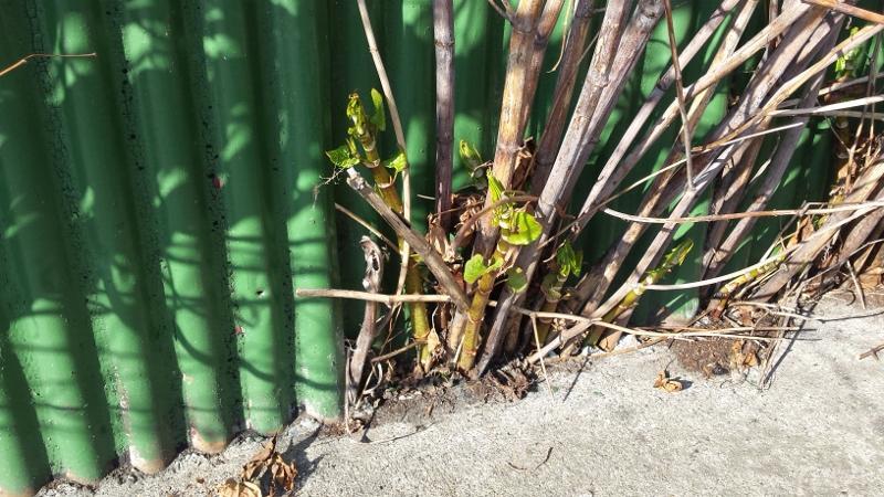 J.K. - New growth amongst old stems